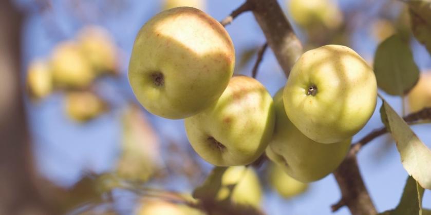 autumn foods - apples